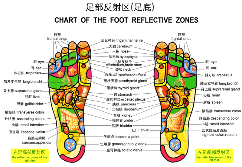 Luckyfeet massage reflexology cupping acupuncture according to chinese medicine the sensory nerves of the internal organs that spread throughout ccuart Image collections
